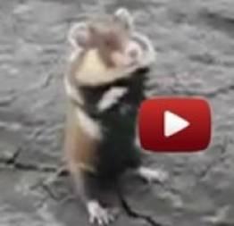 O Hamster mais valente do mundo