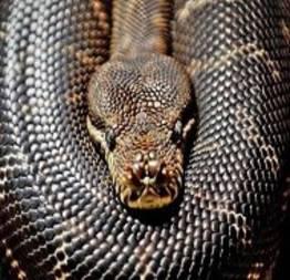 Olha o tamanho dessa cobra Píton Reticulada
